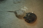 Dolkhale (Limulus polyphemus)